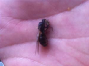 Carpenter ant female reproductive