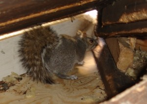 A Squirrel in the Attic of a Connecticut Home